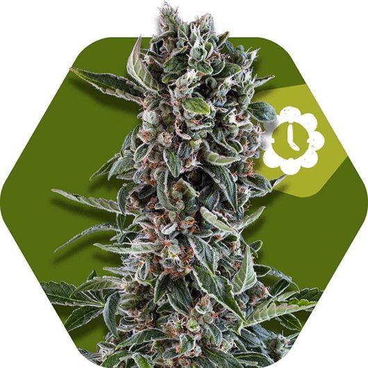 Blueberry Cheese Automatic Feminizowane, Nasiona Marihuany, Konopi, Cannabis