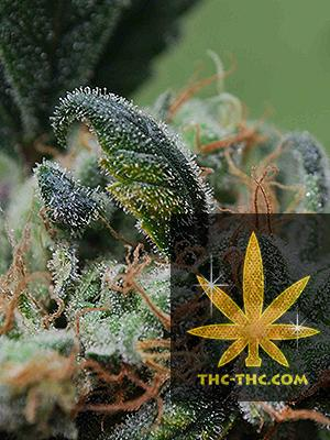Blueberry Cheesecake Feminizowane, Nasiona Marihuany, Konopi, Cannabis