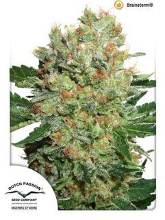 Brainstorm Feminizowane, Nasiona Marihuany, Konopi, Cannabis