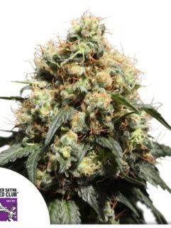 Bruce Lemon Diesel Feminizowane, Nasiona Marihuany, Konopi, Cannabis