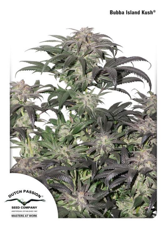 Bubba Island Kush Feminizowane, Nasiona Marihuany, Konopi, Cannabis