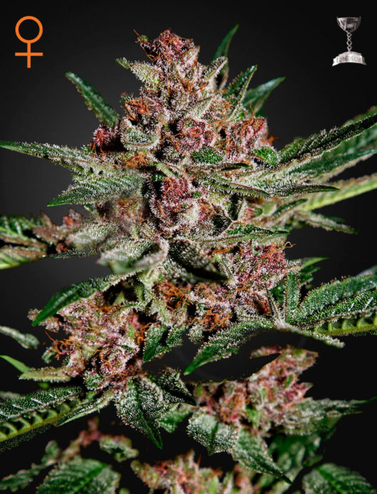 Bubba Kush Feminizowane, Nasiona Marihuany, Konopi, Cannabis
