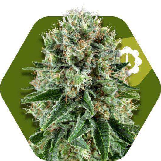 Bubba Kush Automatic Feminizowane, Nasiona Marihuany, Konopi, Cannabis