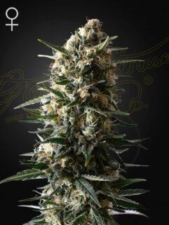Bubba Slush Feminizowane, Nasiona Marihuany, Konopi, Cannabis