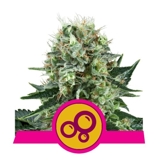 Bubble Kush Feminizowane, Nasiona Marihuany, Konopi, Cannabis