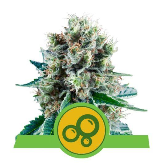Bubble Kush Automatic Feminizowane, Nasiona Marihuany, Konopi, Cannabis