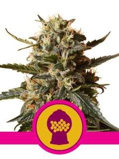 Bubblegum XL Feminizowane, Nasiona Marihuany, Konopi, Cannabis