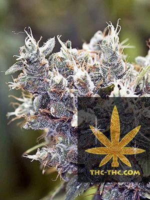 BubbleGummer Feminizowane, Nasiona Marihuany, Konopi, Cannabis
