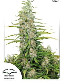 C-Vibez Feminizowane, Nasiona Marihuany, Konopi, Cannabis
