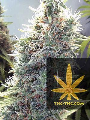 C99 Feminizowane, Nasiona Marihuany, Konopi, Cannabis