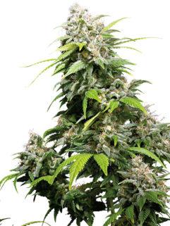 California Indica Feminizowane, Nasiona Marihuany, Konopi, Cannabis