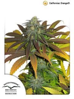 Californian Orange Feminizowane, Nasiona Marihuany, Konopi, Cannabis