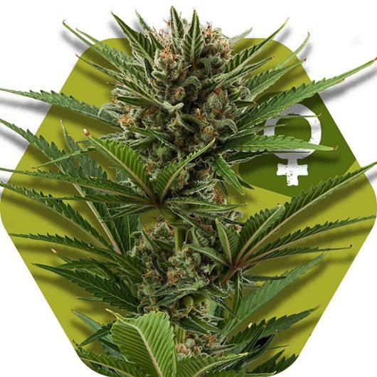 Candy Caramelo Feminizowane, Nasiona Marihuany, Konopi, Cannabis
