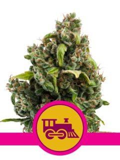 Candy Kush Express Feminizowane, Nasiona Marihuany, Konopi, Cannabis