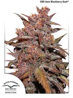 CBD Auto Blackberry Kush Feminizowane, Nasiona Marihuany, Konopi, Cannabis