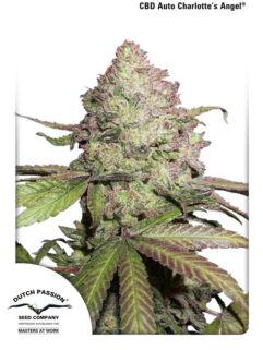 CBD Auto Charlotte's Angel Feminizowane, Nasiona Marihuany, Konopi, Cannabis