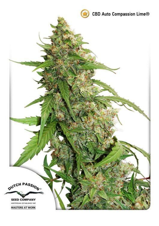 CBD Auto Compassion Lime Feminizowane, Nasiona Marihuany, Konopi, Cannabis