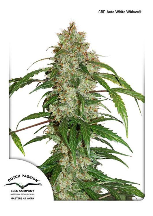 CBD Auto White Widow Feminizowane, Nasiona Marihuany, Konopi, Cannabis