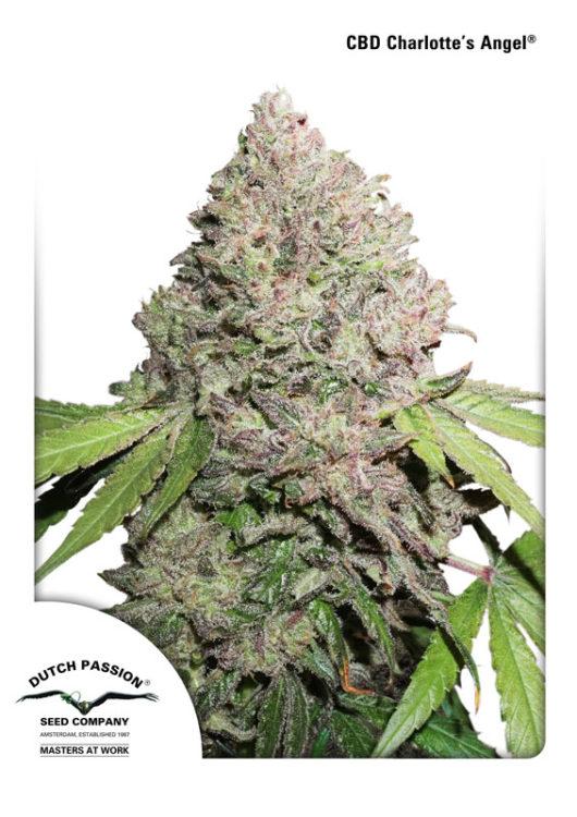 CBD Charlotte's Angel Feminizowane, Nasiona Marihuany, Konopi, Cannabis