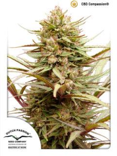 CBD Compassion Feminizowane, Nasiona Marihuany, Konopi, Cannabis