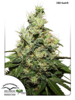 CBD Kush Feminizowane, Nasiona Marihuany, Konopi, Cannabis