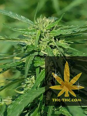 CBD Terra Italia Feminizowane, Nasiona Marihuany, Konopi, Cannabis