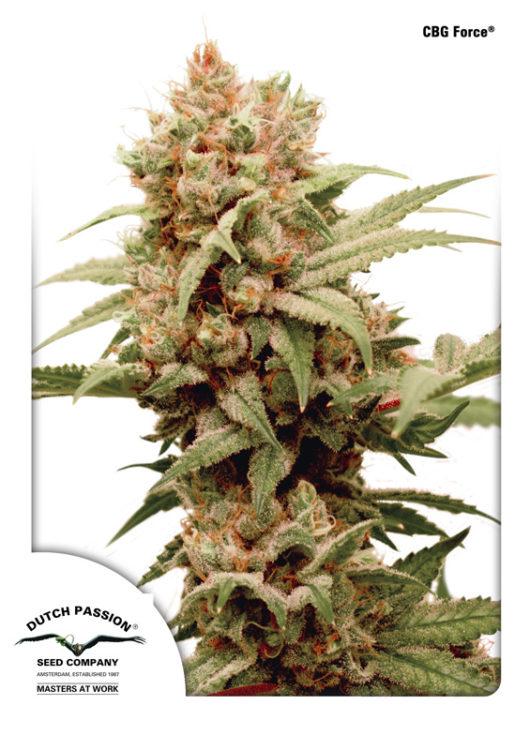 CBG-Force Feminizowane, Nasiona Marihuany, Konopi, Cannabis
