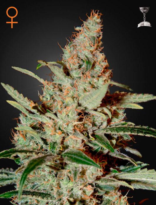 Chemdog Feminizowane, Nasiona Marihuany, Konopi, Cannabis