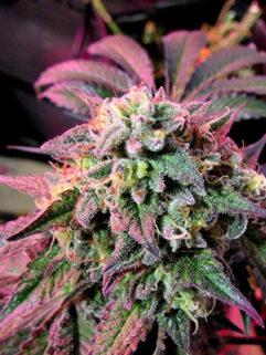 Cherry Pie Feminizowane, Nasiona Marihuany, Konopi, Cannabis