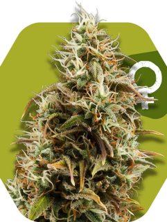 Choco Candy Feminizowane, Nasiona Marihuany, Konopi, Cannabis