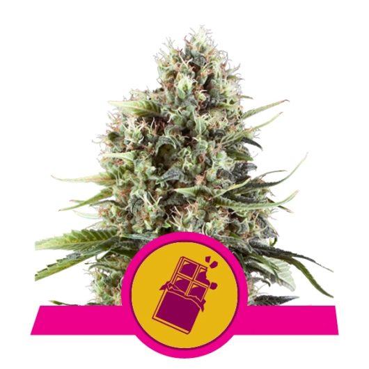 Chocolate Haze Feminizowane, Nasiona Marihuany, Konopi, Cannabis