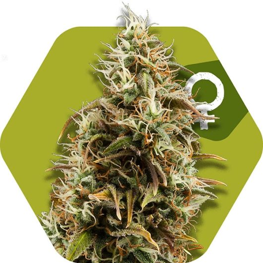 Chocolope Feminizowane, Nasiona Marihuany, Konopi, Cannabis