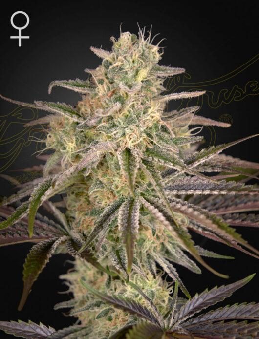 Cloud Walker Feminizowane, Nasiona Marihuany, Konopi, Cannabis
