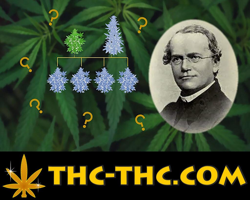 Gregor Mendel i jego prawa a rośliny konopi indyjskich