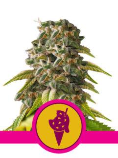 Cookies Gelato Feminizowane, Nasiona Marihuany, Konopi, Cannabis