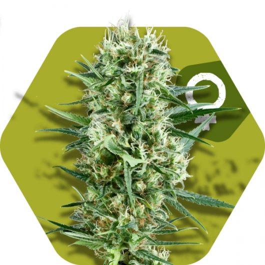 Crazy Cookies Feminizowane, Nasiona Marihuany, Konopi, Cannabis