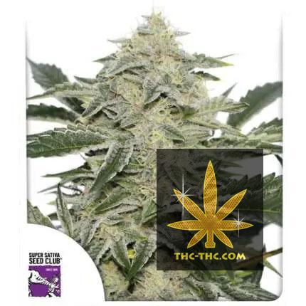 Creamy Kees Regularne, Nasiona Marihuany, Konopi, Cannabis