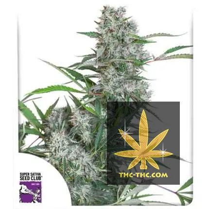 Creeper Regularne, Nasiona Marihuany, Konopi, Cannabis