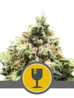Critical Regularne, Nasiona Marihuany, Konopi, Cannabis