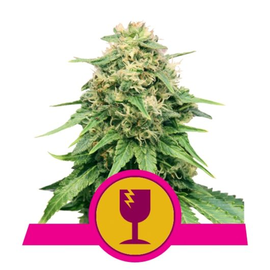 Critical Feminizowane, Nasiona Marihuany, Konopi, Cannabis
