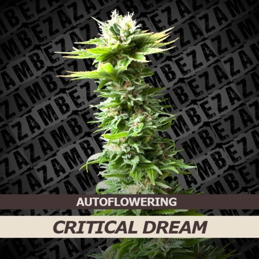 Critical Dream Automatic Feminizowane, Nasiona Marihuany, Konopi, Cannabis