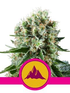 Critical Kush Feminizowane, Nasiona Marihuany, Konopi, Cannabis