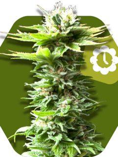 Critical Kush XL Automatic Feminizowane, Nasiona Marihuany, Konopi, Cannabis
