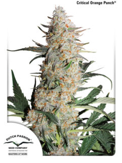 Critical Orange Punch Feminizowane, Nasiona Marihuany, Konopi, Cannabis