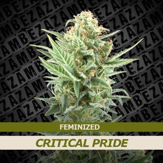 Critical Pride Feminizowane, Nasiona Marihuany, Konopi, Cannabis