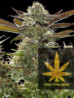 Critical Russian Automatic Feminizowane, Nasiona Marihuany, Konopi, Cannabis