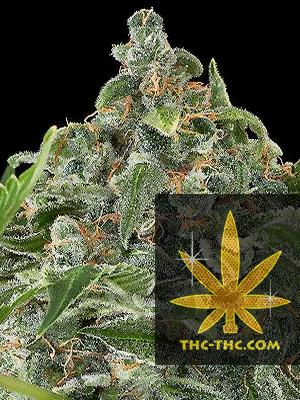 Critical Russian Feminizowane, Nasiona Marihuany, Konopi, Cannabis