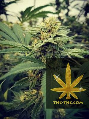 Critical Sour Feminizowane, Nasiona Marihuany, Konopi, Cannabis