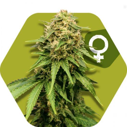 Critical XXL Feminizowane, Nasiona Marihuany, Konopi, Cannabis