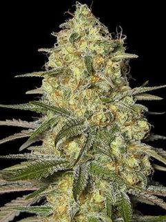 Crystal Kush Automatic Feminizowane, Nasiona Marihuany, Konopi, Cannabis
